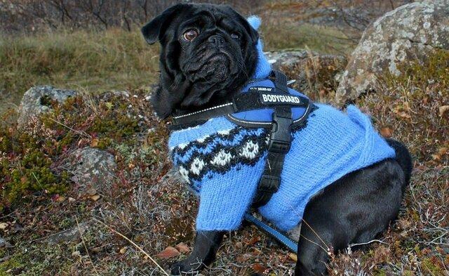 black_dog_wearing_sweater